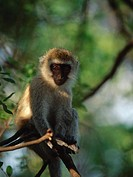 Savanna Monkey