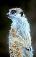 Close_up of Meerkat Suricata suricatta