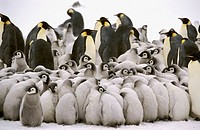 Emperor penguin (Aptenodytes forsteri). Dawson-Lambton glacier, Antarctica, December