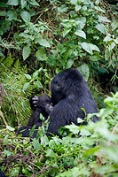 Mountain Gorilla (Gorilla gorilla berengei). Volcano National Park. Rwanda