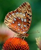 Great spangled fritillary (Speyeria Cybele) on cone flower. Matthaei Botanical Garden. Ann Arbor. Michigan, USA