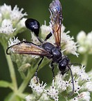 Sphecid wasp. Sphecidae. Hymenoptera. Michigan, USA