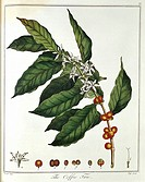 Sprig of Coffee Coffea arabica showing flowers and beans  Hand-coloured engraving published London 1798