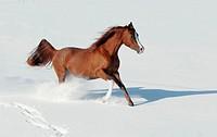 Arab pony running in snow
