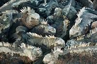 Marine iguanas Amblyrhynchus cristatus