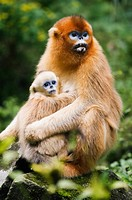 China, Shaanxi Province, golden monkeys Rhinopithecus roxellana in tree