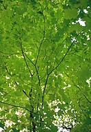 Tree with green leaves , low angle view