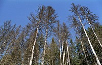 Ecology _ dead spruce forest, Sumava Mountains, Czech Republic, Central Europe
