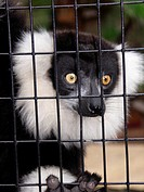 Ruffed Lemur