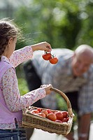 Girl 8-10 carrying basket of tomatoes, showing bunch to grandfather working in vegetable garden (thumbnail)