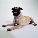 Portrait of a Pug Lying Down