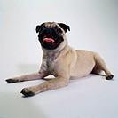 Portrait of a Pug Lying Down
