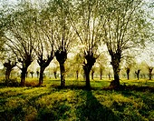 Willows are very popular trees in the Mazowsze region