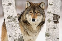 Wolf (Canis lupus), captive in a game farm. Minnesota. USA
