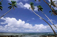 Coco Palm Trees, Taveuni, Fiji Islands, South Pacific
