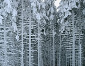 Winter forest in the Karkonosze mountains