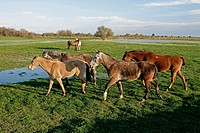 Horses at Doñana National Park. Sevilla-Huelva. Spain