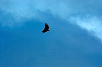 Costa Rica, Poas Volcano National Park, flying eagle (thumbnail)