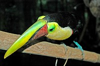Costa Rica, zoological park, toucan