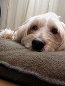 Closeup of dog resting on pillow