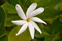 White gardenia close-up amongst green leaves (thumbnail)