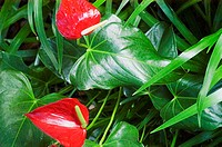 Red anthurium flowers among green leaves