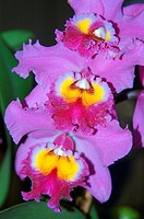 Line of three cattleya orchids