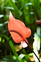 Pink anthurium flowers among green leaves