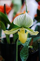 Close-up of an exotic Paphiopedilum orchid