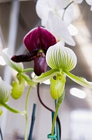 Two paphiopedilum orchids, one white and one purple
