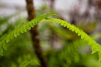 Close-up of bright green ferns brushing against each other at the top (thumbnail)