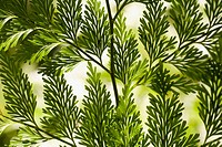 Branches of bright green leaves (thumbnail)