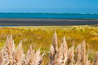 New Zealand, Feathery white plant in the foreground of grassland, mudflats and ocean