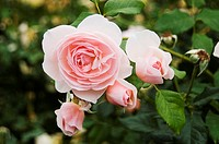 Pretty pink roses growing in a garden