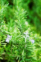 Close-up of a sprig green rosemary on a bush