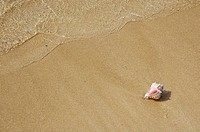 Small white murex shell, with pink opening, laying on sandy beach, wave wash