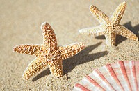 Two small orange seastars dancing in sand, edge of pink scallop shell in foreground