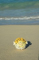 Yellow toy porcupine pufferfish on sand, seafoam washing up behind