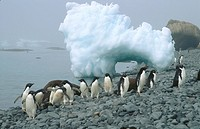 Adelie penguins (Pygoscelis adeliae) on beach. Brown Bluff. Antarctic Peninsula. Antarctica