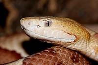 Copperhead, Agkistrodon, contortrix