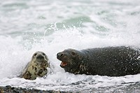 Grey, Seals, pair, in, surf, Helgoland, Schleswig-Holstein, Germany, Halichoerus, grypus,