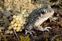 Midwife Toad (Alytes obstetricans), male with eggs. Vaucluse . France