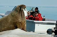 Atlantic, Walrus, on, ice, floe, and, tourists, in, boat, Baffin, Island, Nunavut, Territory, Canada, Odobenus, rosmarus,