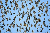 Common, Starlings, swarm, Lower, Saxony, Germany, Sturnus, vulgaris,