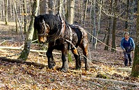 Forestry, operations, extracting, of, stems, with, horse, Baden-Wurttemberg, Germany,