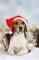 Beagle, with, christmas, cap,