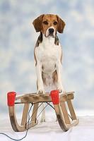 Beagle, with, sledge,