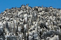 Common, Guillemot, nesting, colony, Farne, Islands, England, Uria, aalge, auks,