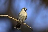 Sociable, Weaver, Namibia, Philetairus, socius,