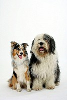 Bobtail, and, Australian, Shepherd, Old, English, Sheepdog,